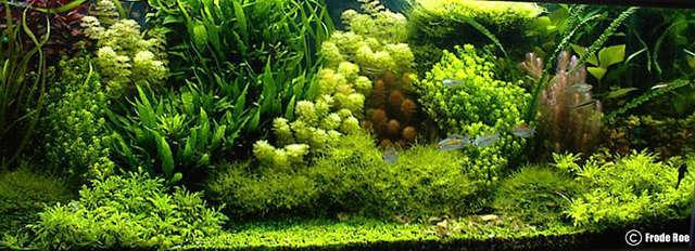 Não há como negar que aquários plantados são simplesmente fascinantes. Os holândeses então…. São denominados Holandeses, aquários que tem ênfase principalmente nas plantas, deixando os peixes em segundo plano. Usa-se […]