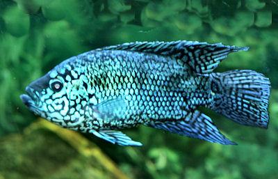 Este peixe recebeu este nome devido a um famoso lutador de boxe que nocauteava seus adversários logo no início da luta Bookmark on Delicious Digg this post Recommend on Facebook […]