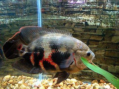 Uma vez apareceu um peixinho muito bonitinho e que apanhava de todos os outros. Eu fiquei com dó e o coloquei em um pequeno aquário separado, um mês depois, tive […]