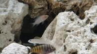 Este era um aquário plantado com Discos, como o tempo não perdoa, os peixes envelheceram e morreram. Aí veio a bela idéia de transformá-lo em um aquário de Ciclídeos Africanos […]