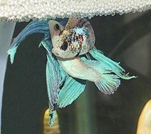 """Reprodução de Betas Todos os dias recebo uma pergunta: """"Se o peixe Beta macho não pode ficar com a fêmea, como eles reproduzem?"""". Bem, vamos lá:Os betas , assim como […]"""